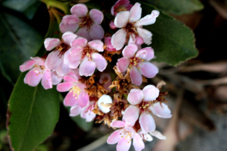 Rhaphiolepis indica, Indian hawthorn. evergreen shrub with lustrous leaves, pink flowers in clusters and rounded small fruits, can be cooked and eaten Stock Photo