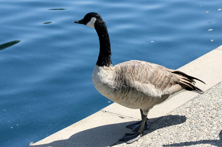 large bird: Canada Goose along small community lake, Branta canadensis, large bird native of Canada and North America with black head and neck, white patches on face and brown body, common in lakes. Stock Photo