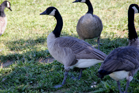 canadensis: Canada Goose on lawn along small community lake, Branta canadensis, large bird native of Canada and North America with black head and neck, white patches on face and brown body, common in lakes. Stock Photo