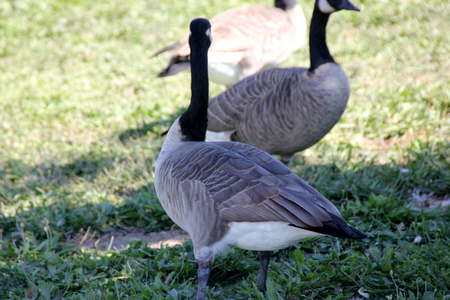 large bird: Canada Goose on lawn along small community lake, Branta canadensis, large bird native of Canada and North America with black head and neck, white patches on face and brown body, common in lakes. Stock Photo