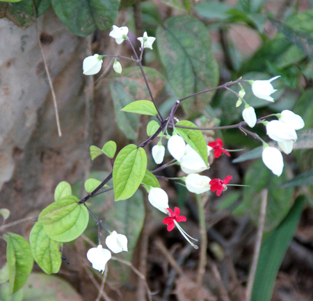 corolla: Clerodendrum thomsoniae, Bleeding heart vine, Bleeding Glory Flower, evergreen vine with oblong leaves and two colored flowers with white calyx and red corolla, needs abundant water for roots.