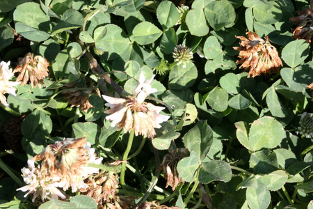 trifolium repens: Trifolium repens, White clover, perennial creeping herb with trifoliate compound leaves and white flowers in terminal globose heads on long peduncle. Stock Photo