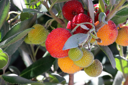 finally: Arbutus unedo, Strawberry tree, small evergreen tree with green serrated leaves, bell shaped flowers in hanging clusters and strawberry like fruits.ripening from yellow to orange to finally red.