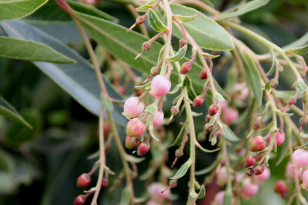 serrated: Arbutus unedo, Strawberry tree, small evergreen tree with green serrated leaves, bell shaped flowers in hanging clusters and strawberry like fruits.ripening from yellow to orange to finally red.