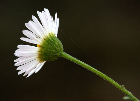 Erigeron karvinskianus, Mexican fleabane, Santa Barbara daisy, spreading perennial with linear leaves and about 1 cm across white to pink flower heads, with yellow disc Stock Photo