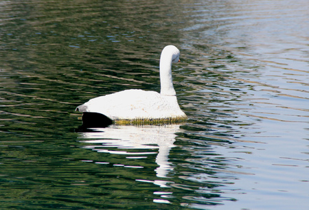 bordered: Mute Swan, Cygnus olor, native of Europe introduced in America and elsewhere, large white swan with orange beak bordered with black, less vocal than other swans.