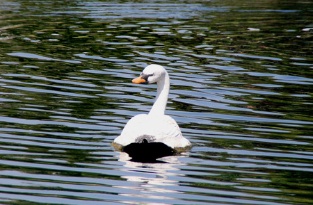 Mute Swan, Cygnus olor, native of Europe introduced in America and elsewhere, large white swan with orange beak bordered with black, less vocal than other swans.
