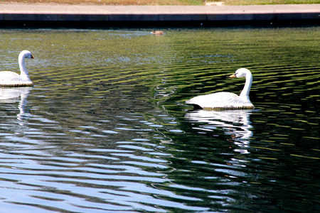 introduced: Mute Swan, Cygnus olor, native of Europe introduced in America and elsewhere, large white swan with orange beak bordered with black, less vocal than other swans.