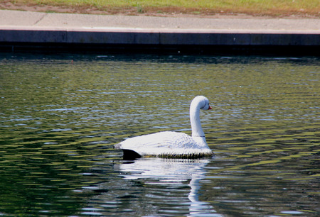 voices: Mute Swan, Cygnus olor, native of Europe introduced in America and elsewhere, large white swan with orange beak bordered with black, less vocal than other swans.