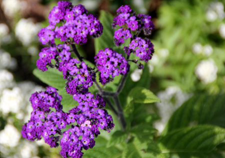 showy: Heliotropium arborescens, Garden heliotrope, garden ornamental shrubby in appearance with broad green leaves and purple flowers in terminal showy clusters