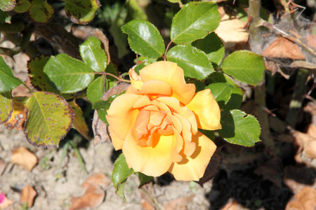 Rosa Top Notch, Hybrid Tea Rose cultivar with thorny stems, clustered highly fragrant double flowers of apricot color and its blend, blooming on new wood.