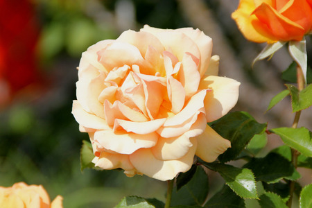 notch: Rosa Top Notch, Hybrid Tea Rose cultivar with thorny stems, clustered highly fragrant double flowers of apricot color and its blend, blooming on new wood.