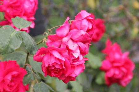 improved: Rosa Demokracie, Blaze Improved, climbing rose with dark green foliage and large red fragrant double flowers in clusters. Stock Photo