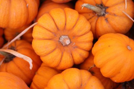 Munchkin Pumpkin, Cucurbita pepo, mini size pumpkin, barely 7 to 10 cm wide, bright orange with deep ribs, ideal for decorating during Halloween. Stock Photo