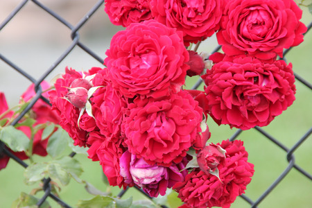 ablaze: Rosa All Ablaze, climbing rose with large clusters of cherry red double ruffled flowers with mild spicy fragrance, on both old and new wood Stock Photo