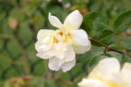 loosely: Rosa Golden Showers, large climber with dark stems and glossy foliage, loosely double fragrant golden yellow flowers becoming paler with age.