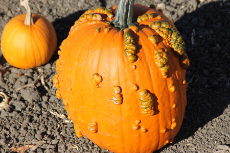 warts: Warty Connecticut Field Pumpkin, Cucurbita pepo, a variation of common American pumpkin with medium sized orange colored fruits with small ribs and warts on skin, popular for decorations and carvings during Halloween. Stock Photo