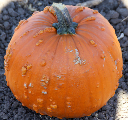 sized: Warty Connecticut Field Pumpkin, Cucurbita pepo, a variation of common American pumpkin with medium sized orange colored fruits with small ribs and warts on skin, popular for decorations and carvings during Halloween. Stock Photo
