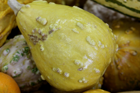 Warty pear gourd, Cucurbita pepo, family Cucurbitaceae, ornamental gourd in various colours with warts on surface, suitable for decorations.