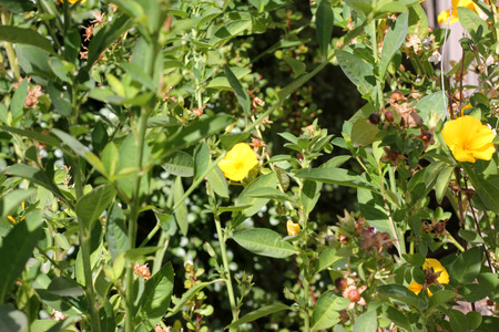 erect: Reinwardtia indica, Yellow Flax, Pyoli, Himalayan native in cultivation, small shrub with erect branches, elliptic leaves and yellow flowers, used in medicine Stock Photo
