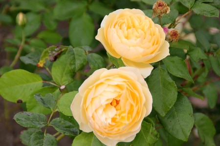 arching: Rosa Graham Thomas, English shrub rose with arching stems and fragrant double rich yellow flowers, ideal for mixed borders.
