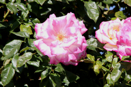 nearly: Rosa Handel, nearly thornless climbing rose with bronze tinted leaves and clusters of creamy white flowers with pink petal edges, turning darker pink with age.