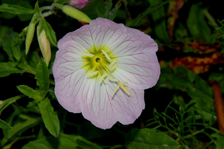 lance shaped: Oenothera speciosa, Pink Evening Primrose, Showy primrose, perennial herb with lance shaped leaves and pink cup shaped flowers opening mostly in the evening.