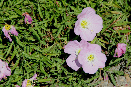 showy: Oenothera speciosa, Pink Evening Primrose, Showy primrose, perennial herb with lance shaped leaves and pink cup shaped flowers opening mostly in the evening.