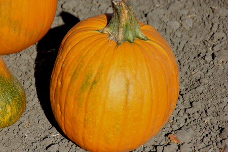 cucurbita: Connecticut Field Pumpkin on display, Cucurbita pepo, medium of orange pumpkins with small ribs, best suited for autumn decoration, jack-o-lanterns and cooking Stock Photo