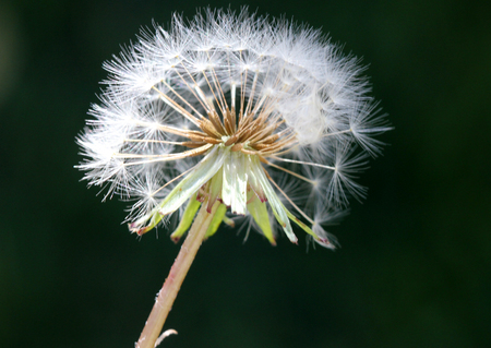 Dandelion fruit head, Taraxacum officinale, each fruit with light brown body with few bristles, very long white neck and white parachute (pappus) ready to fly off Stock Photo
