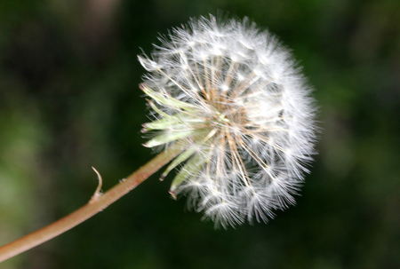 bristles: Dandelion fruit head, Taraxacum officinale, each fruit with light brown body with few bristles, very long white neck and white parachute (pappus) ready to fly off Stock Photo