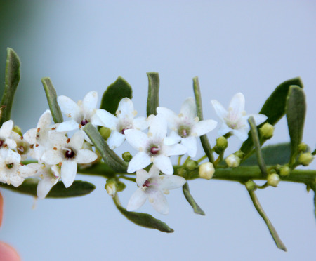 groundcover: Creeping Myoporum, Myoporum parvifolium,  Groundcover Myoporum, low growing evergreen ground cover with closely spaced leaves and white flowers Stock Photo