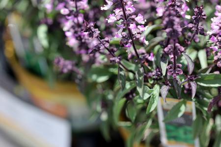 thai basil: Thai Basil, Ocimum basilicum var. thyrsiflora, with dark green spear like leaves, purple stems and bracts and pink purple flowers Stock Photo