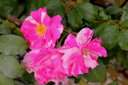 vigorously: Rosa Berries N Cream, hybrid climbing rose with vigorous growth, abundant foliage and clusters of pink and white irregularly striped flowers. Stock Photo