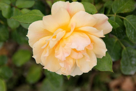 easy going: Rosa Easy Going, Floribunda rose, bushy in habit, disease resistant, with glossy foliage and golden peachy flowers in clusters