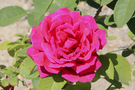 thorny: Rosa Papa Meilland, Hybrid tea rose, a thorny shrub with olive green leaves and dark red double highly fragrant flowers. Stock Photo