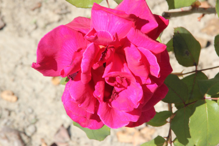 Rosa Papa Meilland, Hybrid tea rose, a thorny shrub with olive green leaves and dark red double highly fragrant flowers. Stock Photo
