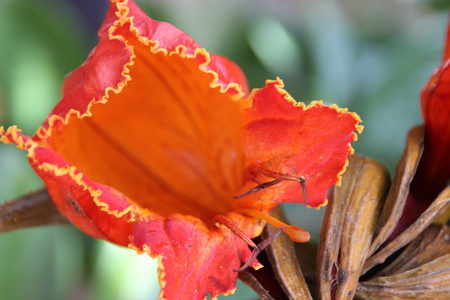 ampule: Spathodea campanulata, African tulip tree, Fountain tree, Nandi flame, ornamental tree with orange-red bell shaped flowers, flower buds ampule shaped and carry water. Stock Photo