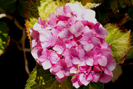 globose: Hydrangea macrophylla, Mophead , small shrub with large leaves and globose heads of flowers in various colors