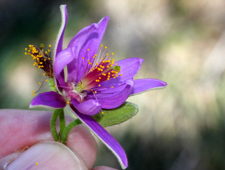 lobed: Grewia occidentalis, Crossberry, small deciduous tree with glossy leaves and purple star shaped flowers and four lobed reddish brown fruits. Stock Photo
