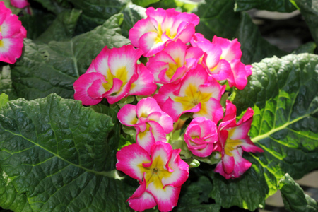 Primula x polyantha Supernova Mix Ornamental herb with basal rosette of leaves and bicolored flowers in shades of pink, red, yellow or blue with yellow throat, in an umbel carried on a long scape