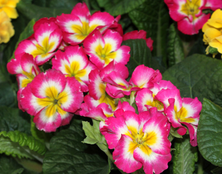 umbel: Primula x polyantha Supernova Mix Ornamental herb with basal rosette of leaves and bicolored flowers in shades of pink, red, yellow or blue with yellow throat, in an umbel carried on a long scape