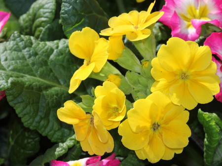 umbel: Primula x polyantha Supernova Mix Yellow, Ornamental herb with basal rosette of leaves and bicolored flowers in shades of pink, red, yellow or blue with yellow throat, in an umbel carried on a long scape