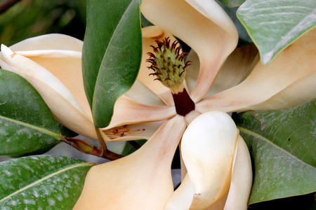 diameter: Magnolia grandiflora, Southern Magnolia, Bull Bay, beautiful evergreen tree thick large green leaves, brownish beneath and large white fragrant flowers up to 30 cm in diameter Stock Photo