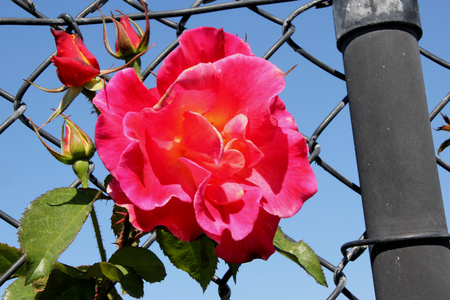 blushing: Rosa Jacobs Robe, climbing rose large flowers in blend yellow blushing with pink, gold and red, similar to Josephs Coat but with larger flowers.