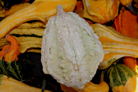 warts: Warty pear gourd, Cucurbita pepo, dull white ornamental gourd with ridges and warts and green patches, used for Halloween decorations. Stock Photo