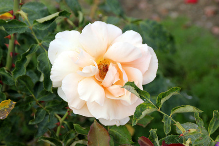 joey: Rosa Just Joey, Large flowered hybrid Tea Rose with glossy leaves and double coppery pink flowers, solitary or in small clusters.