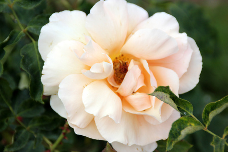 Rosa Just Joey, Large flowered hybrid Tea Rose with glossy leaves and double coppery pink flowers, solitary or in small clusters.
