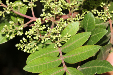 peppertree: Brazilian peppertree, Schinus terebinthifolia, with thick pinnate compound leaves with up to 15 oval leaflets, slightly winged rachis, small creamish flowers and 5 mm across red fruits