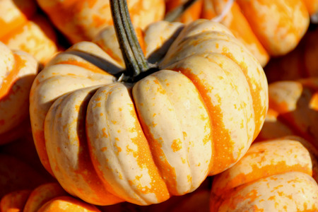 Dumpling squash, Cucurbita pepo, mini sized fruits less than 10 cm across, flattened top, broadly ribbed, creamy white with green to orange stripes on grooves and sweet soft textured orange flesh. Stock Photo